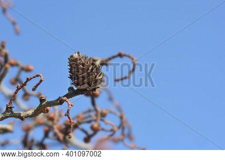 Larch Diana Branch With Cone - Latin Name - Larix Kaempferi Diana