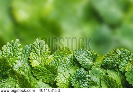 Balm Mint Leaves Isolated. Empty Copy Space Green Lemon Balm Leaf Studio Background. Mojito Drink In