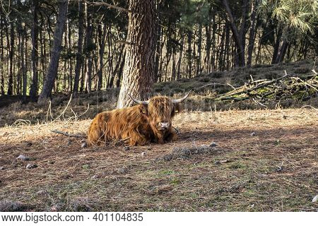Brown Scottish Highlander Ruminating In The Forest In The Netherlands Region Of Nieuw Bergen, Provin
