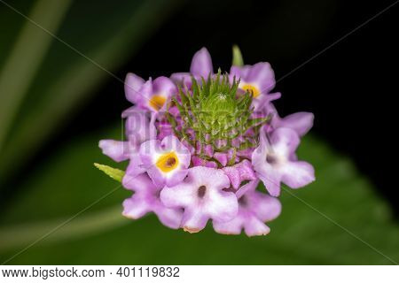 Flower Of The Plant Lantana Lavender Popcorn Of The Species Lantana Trifolia