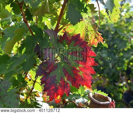 Different Shades Of Color, From Green To Reddish In Vine Vine Leaf.