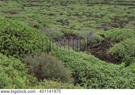 Shrubland Of Euphorbia Balsamifera. Malpais De La Corona. La Corona Natural Monument. Lanzarote. Can