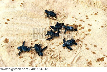 Several Newly Hatched Small Black Sea Turtles Crawling Along The Sand To The Sea. Animals Theme. Sri