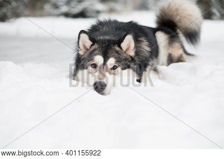 Alaskan Malamute Lying In Snow. Dog Winter.