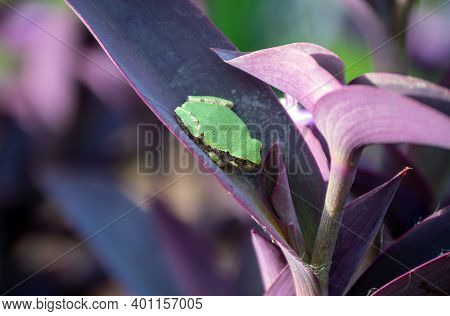 A Little Green Treefrog Rests Contently On The Purple Leaf Of A Wandering Jew Plant In Missouri. Bok