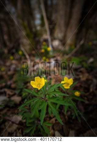 Beautiful Yellow Anemone Flowers Blooming On A Forest Ground In Spring. Anemone Ranunculoides In Nat