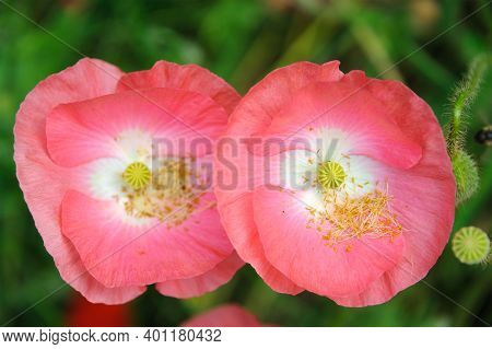 Pink Icelandic Paper Poppy Flower In Grassland With Shallow Depth Of Field Background.