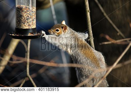 Squirrel is reaching to bird feeder for food