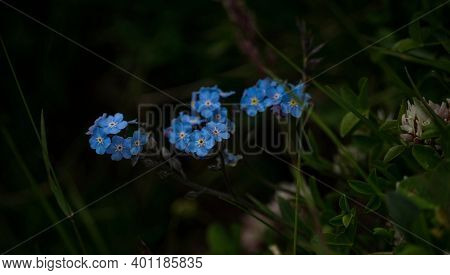Close Up Of Alpine Forget-me-not Myosotis Alpestris Flower Plant In Alpstein Alps Mountains Appenzel