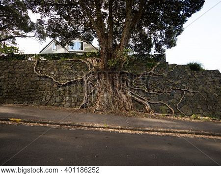 Roots Of Massive Tree Growing Along Stone Rock Wall In Auckland In New Zealand Aotearoa