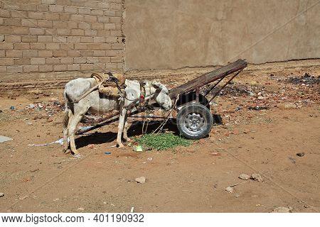 Karma, Sudan - 21 Feb 2017. The Donkey In Karma City, Sudan, Africa