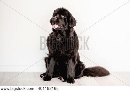 Mature newfoundland dog on white wall background