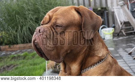 Portrait Photo Of Big Brown Dog Bullmastiff Who Is Drooling