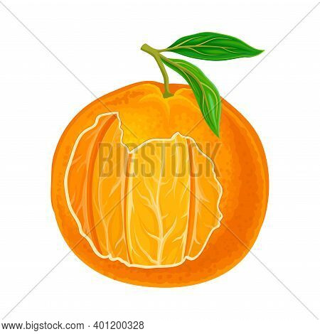 Mandarin Or Tangerine Showing Juicy Segments Vector Illustration