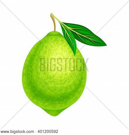 Whole Lime As Green Round Citrus Fruit Vector Illustration