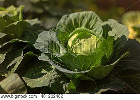 Fresh Cabbage From Farm Field. View Of Green Cabbages Plants. Vegetarian Food Concept.fresh Green Ca