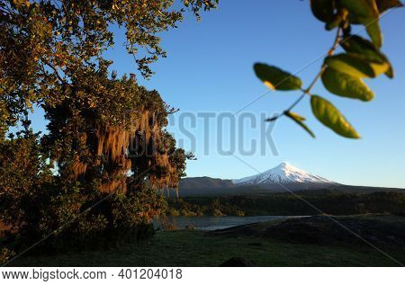 Nature of Chile. Snowy cone of Villarrica volcano, Spanish moss hanging from tree, lake Villarrica in evening light, blue sky, Green environment, Pucon