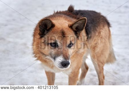 A Cute Sad Homeless Dog Stands In The Snow In A Cold Winter. The Problem Of Homeless Animals.