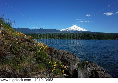 Nature of Chile, Beautiful landscape, Dark grey rocky coast lake Villarrica with grass and small wild yellow flowers, snow capped Villarrica volcano under blue sky sunny day. Green environment, Pucon