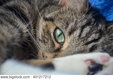 Close Up Picture Of A Cat's Eye. Curious And Attentive Glance. Gray Cat With Green Eyes. Relaxed Cat