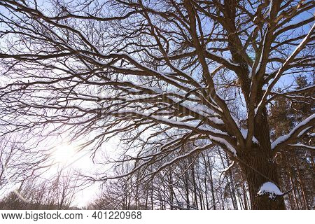A Sprawling Tree Covered With Snow In Winter. A Large Oak Tree. A Ray Of Sunshine