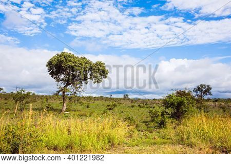The famous Kruger Park. Beautiful  windy day. African savannah - flat steppe overgrown with yellow grass and desert acacia. South Africa. The concept of active and photo tourism