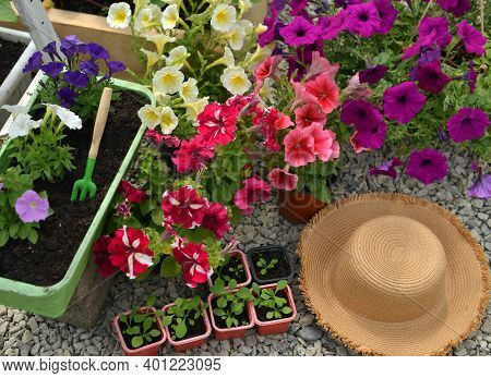 Top View Of Blooming Petunia In Flowerpots, Straw Hat And Sprouts In Greenhouse. Vintage Botanical B