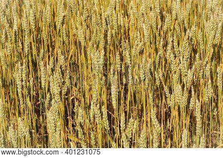 Wheat Field. Ears Of Golden Wheat. Rural Farming, Landscape In Bright Sunlight. Meadow Wheat Field R