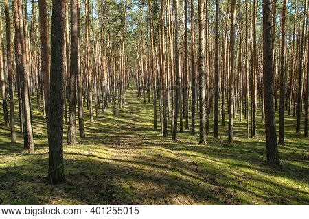 The Nice Fresh Pine Wood With Moss On The Ground In Czech Republic During The Nice Spring Sunny Day.