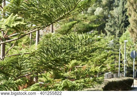 Close-up Of Green Branches Of Norfolk Island Pine (araucaria Heterophylla) Growing In The Public Par