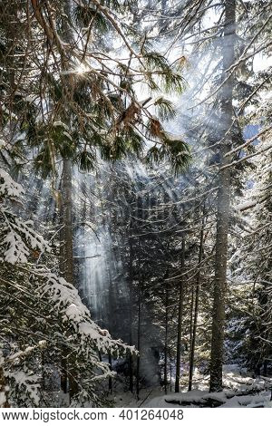 Blue Rays Of The Sun In Winter In The Thicket Of Dark Coniferous Cedar Taiga. The Rays Of The Sun Pa