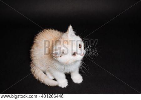 White Fluffy Kitten On A Black Background, Purebred Cat Sitting Still, White Kitten, Cute Charming K