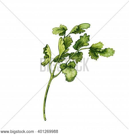 Cilantro Fresh Green Branches And Leaves. Vector Color Vintage Hatching Illustration Isolated On A W