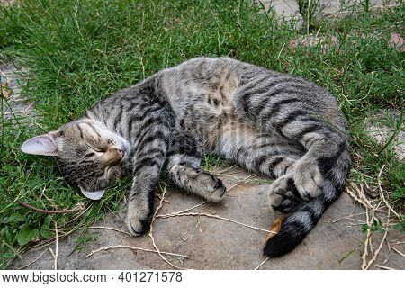 Shorthair Grey Tabby Cat With Closed Eyes Curl Up Napping Outdoors With Furry Belly Up. Young Cat Wi