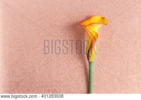 Amazing Orange Calla Lily Flower On A Sparkle Pink Peach Background.  Flat Lay. Place For Text.
