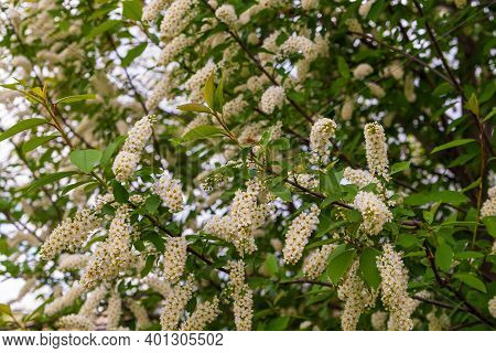 Blossoming Branches Of Bird Cherry. Prunus Padus, Known As Bird Cherry, Hackberry, Hagberry, Or Mayd