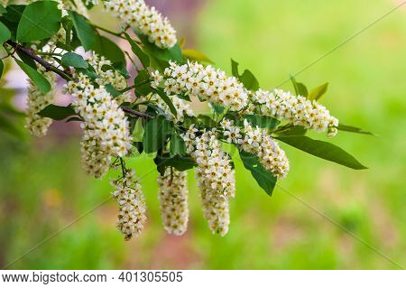Blooming Branches Of A Bird Cherry On A Pale Green Background. Lush Bloom Of Bird Cherry. Bird Cherr