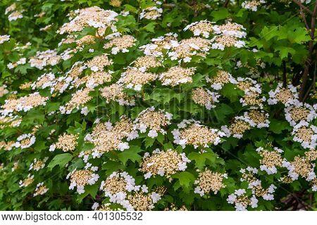 Unusual Bloom. White Inflorescences Of Viburnum. Lush Blooming Viburnum. Viburnum Opulus, Guelder-ro