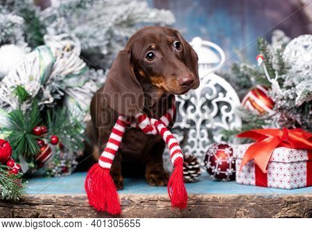 Puppy dachshund; New Year's puppy; Christmas dog