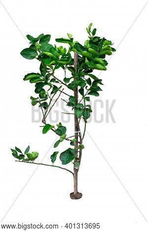 Small Kaffir Lime Trees On A White Background.kaffir Lime Or Bergamot Tree.