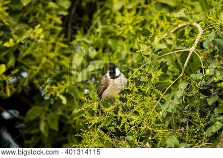 White Eared Or Cheeked Bulbul In Natural Green Background During Winter Migration At Keoladeo Nation