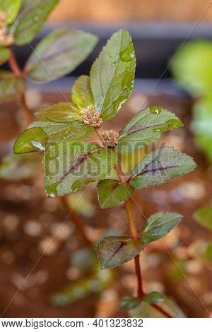 Asthma Plant Of The Species Euphorbia Hirta