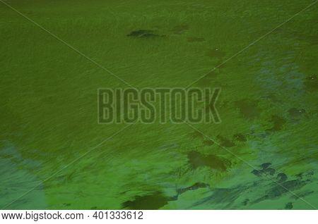 Common Carps Cyprinus Carpio In A Eutrophicated Reservoir. Torrejon Tietar Reservoir. Monfrague Nati
