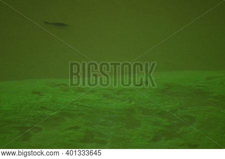 Common Carp Cyprinus Carpio In A Eutrophicated Reservoir. Torrejon Tietar Reservoir. Monfrague Natio