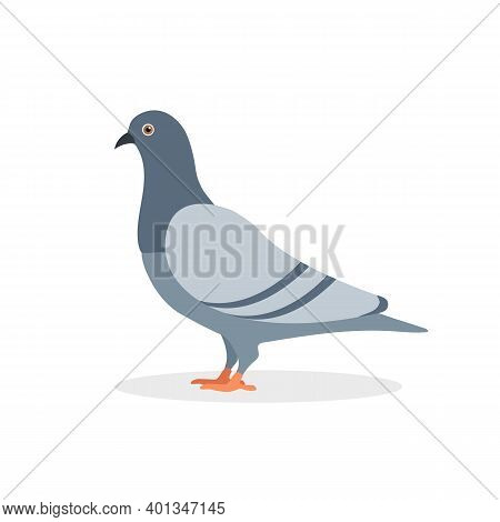 Pigeon Bird Isolated On White Background. Pigeon Cartoon Character Design.  Animal Design. Vector St