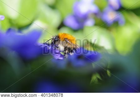 Macro Photo, Bumblebee. Bumblebee Head Close-up, On A Blurred Blue-green Background Of Flowers. Spri