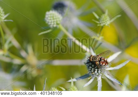 Fly On A Field Plant. Eryngium Planum, Known As Blue Eryngo, Or Flat Sea Holly, Is A Species Of Flow