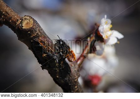 Bumblebee Sits On A Flowering Tree. Apricot Flowers On A Branch. Little Furry Bumblebee, Close-up. B