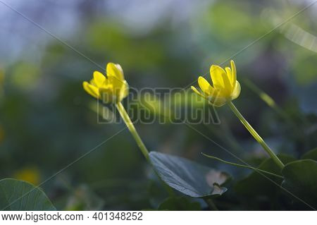 Yellow Wildflowers Close Up. Buttercup. Spring Landscape. Common Buttercup, Bright Yellow, Small Flo