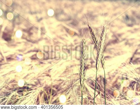 Separated Immigrant Stalks In The Monocultural Field, Close-up. Aagricultured Field.  Abstract Filte
